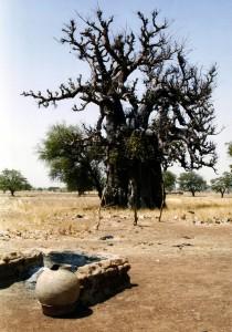 Arbre emblématique d'Afrique le baobab est surnommé « arbre de vie », Il se distingue par sa stature impressionnante, et sa longévité exceptionnelle (près de 2 000 ans)